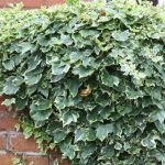 Hedera Helix and Ivy