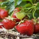 Raspberry and Strawberry